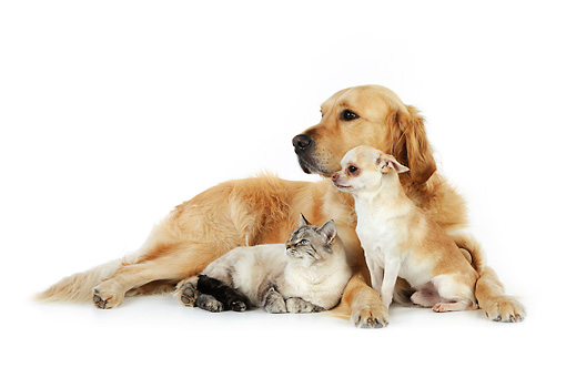 DOK 03 JD0002 01 © Kimball Stock Golden Retriever, Chihuahua And Tabby Cat Laying On White Seamless
