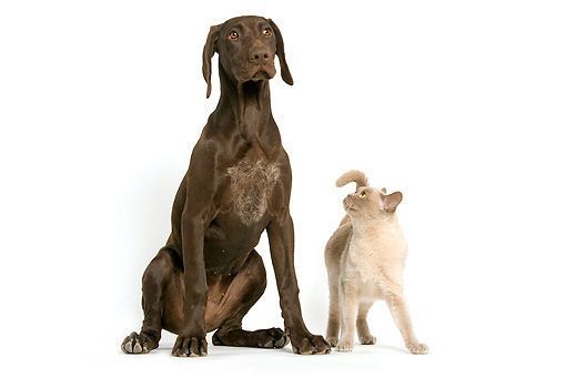 DOK 03 JE0001 01 © Kimball Stock German Shorthaired Pointer And Burmese Cat On White Seamless