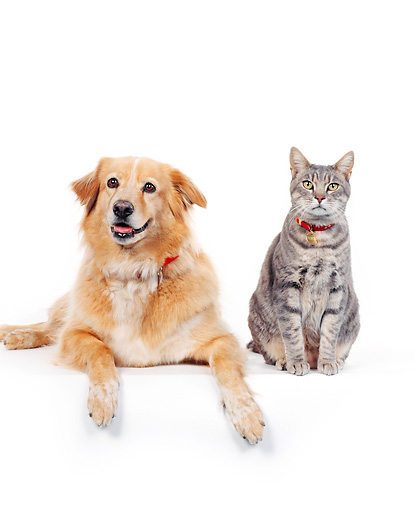 DOK 03 RK0002 06 © Kimball Stock Golden Retriever Mix With Tabby Cat On White Seamless