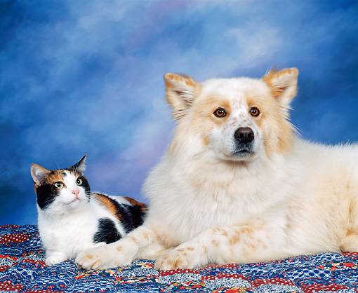 DOK 03 RK0021 08 © Kimball Stock Mixed Breed And Calico Cat Laying Together On Quilt Mottled Background