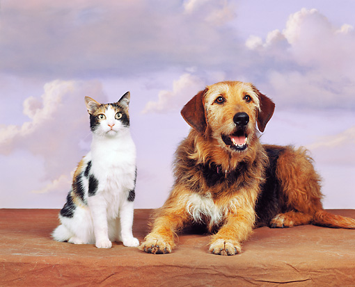 DOK 03 RK0032 05 © Kimball Stock Mixed Breed And Calico Cat Sitting Together Purple Sky Clouds Background