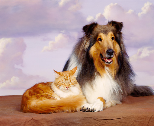 DOK 03 RK0038 10 © Kimball Stock Collie And Orange And White Cat Laying Together Purple Clouds Background