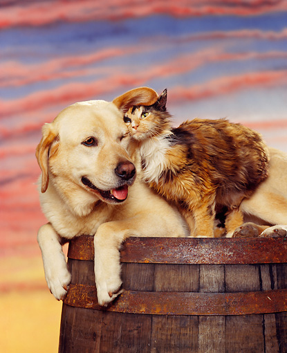 DOK 03 RK0055 02 © Kimball Stock Yellow Labradore Laying With Calico Cat Sitting On Barrel Sunset Background