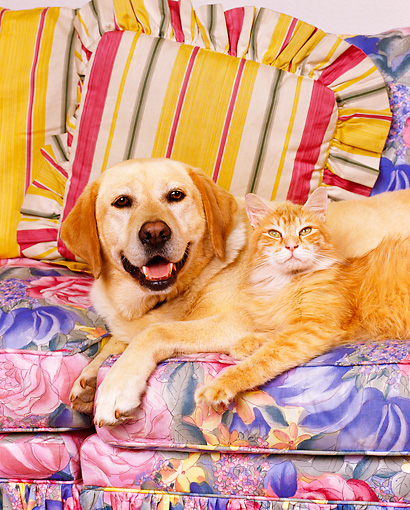 DOK 03 RK0059 06 © Kimball Stock Yellow Labrador And Orange Cat Laying On Floral Couch Together