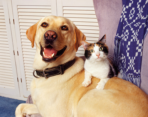 DOK 03 RK0063 03 © Kimball Stock Yellow Labrador Gulliver Sitting On Chair With Cat Laying On Top