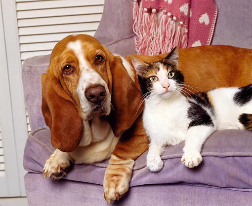 DOK 03 RK0069 07 © Kimball Stock Basset Hound And Calico Cat Laying Together On Chair
