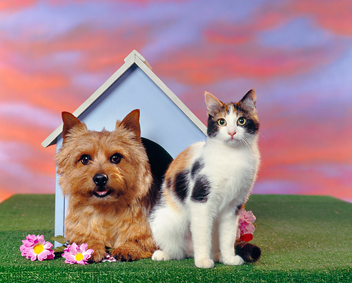 DOK 03 RK0075 02 © Kimball Stock Norwich Terrier And Calico Cat By Doghouse Sunset Background