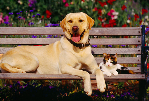 DOK 03 RK0080 03 © Kimball Stock Yellow Labrador Retriever Laying With Calico Cat On Wooden Bench By Flower Garden