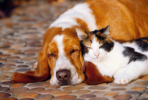 DOK 03 RK0081 12 © Kimball Stock Basset Hound Chester And Calico Cat Laying On Rock Pavement By Flowers