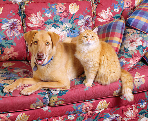 DOK 03 RK0132 05 © Kimball Stock Mixed Breed Dog And Orange Tabby Cat On Floral Couch