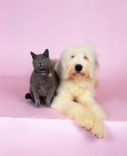 DOK 03 RK0135 01 © Kimball Stock Old English Sheepdog and British Shorthair