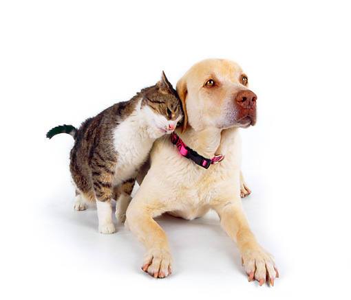 DOK 03 RK0136 11 © Kimball Stock Yellow Labrador and Domestic Cat