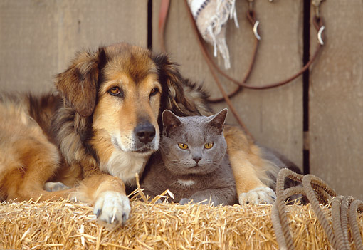 DOK 03 RK0141 17 © Kimball Stock Collie Labrador Mix and Blue British Shorthair Cat Laying On Hay Bale In Barn Studio