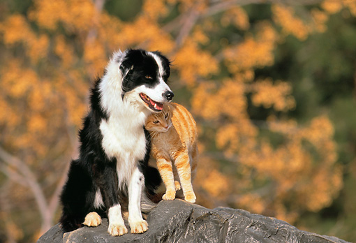 DOK 03 RK0157 12 © Kimball Stock Border Collie And Orange Cat Sitting Together On Rock Trees Background