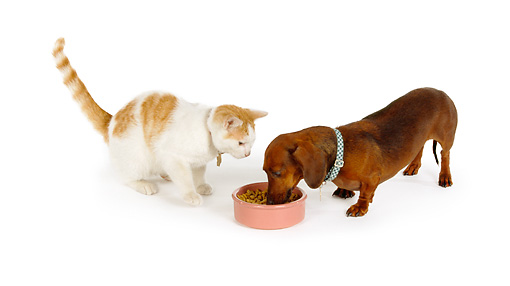 DOK 03 RK0164 04 © Kimball Stock Dachshund And Cat Eating From Bowl On White Seamless