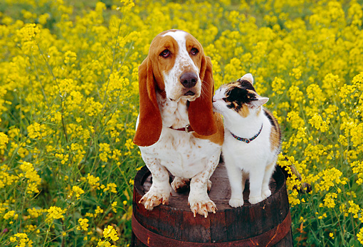 DOK 03 RK0187 08 © Kimball Stock Basset Hound And Calico Cat Sitting Together On Barrel In Yellow Flower Garden