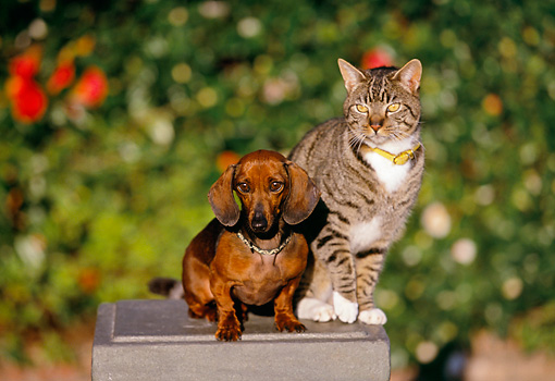 DOK 03 RK0188 03 © Kimball Stock Miniature Dachshund Smooth Coated And Gray Tabby Cat Sitting On Pedestal By Flowers