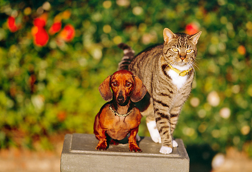 DOK 03 RK0188 13 © Kimball Stock Miniature Dachshund Smooth Coated And Gray Tabby Cat Sitting On Pedestal By Flowers