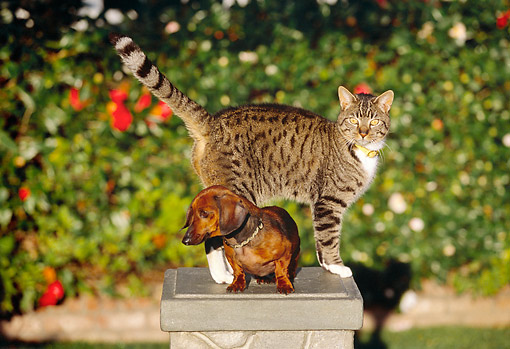 DOK 03 RK0188 14 © Kimball Stock Miniature Dachshund Smooth Coated And Gray Tabby Cat Sitting On Pedestal By Flowers