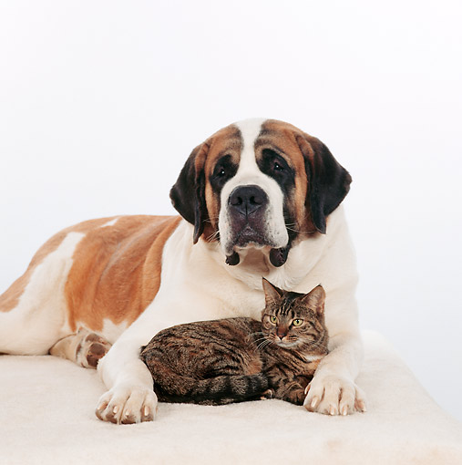 DOK 03 RS0010 06 © Kimball Stock St.Bernard Laying With Tabby Cat White Background