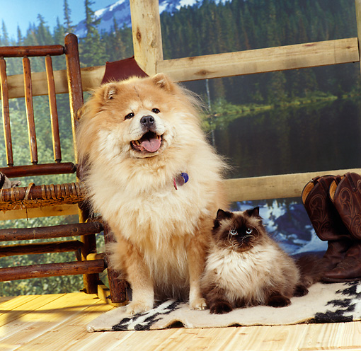 DOK 03 RS0013 01 © Kimball Stock Chow Chow Sitting On Mat With Himalayan Cat