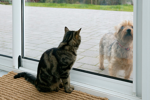 DOK 03 KH0002 01 © Kimball Stock Tabby Cat Sitting Looking Through Glass Door At Yorkshire Terrier On Patio