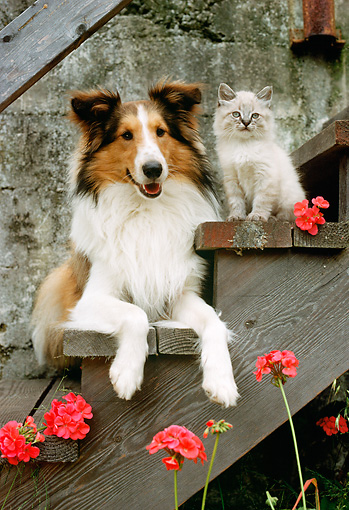 DOK 03 RC0001 01 © Kimball Stock Portrait Of Collie Laying On Step By Gray Cat And Geraniums