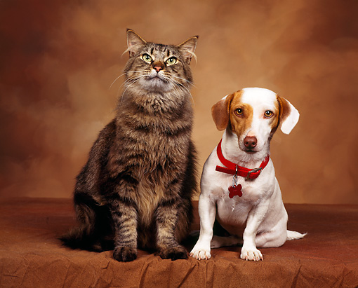 DOK 03 RK0023 01 © Kimball Stock Jack Russell Terrier And Tabby Cat Sitting Facing Camera Brown Mottled Background