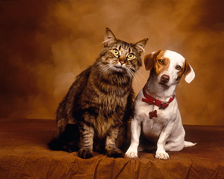 DOK 03 RK0023 02 © Kimball Stock Jack Russell Terrier And Tabby Cat Sitting Facing Camera Brown Mottled Background