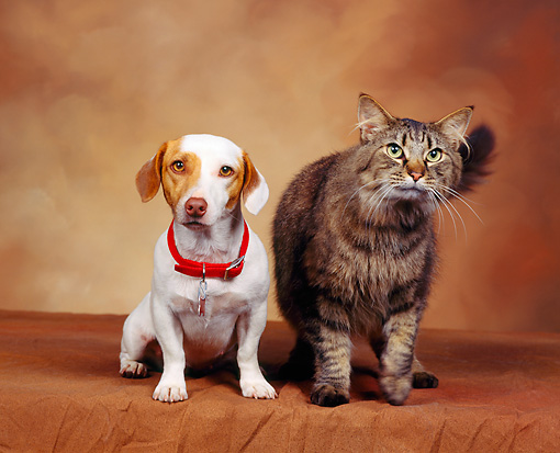DOK 03 RK0024 02 © Kimball Stock Jack Russell Terrier And Tabby Cat Sitting Together Brown Mottled Background