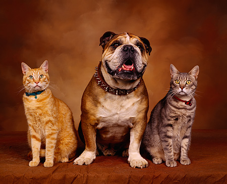 DOK 03 RK0029 07 © Kimball Stock Bulldog And Two Cats Sitting Together Brown Mottled Background