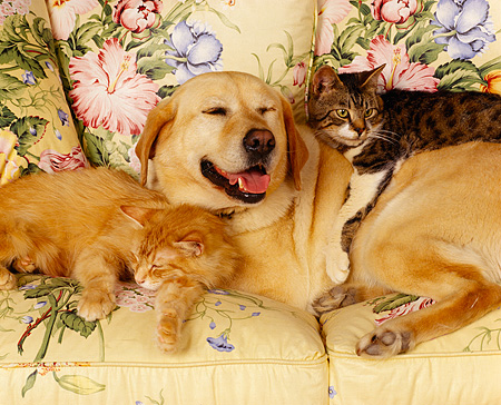 DOK 03 RK0061 10 © Kimball Stock Yellow Labrador And Two Cats Laying Together On Floral Couch