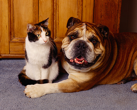 DOK 03 RK0067 02 © Kimball Stock Bulldog And Calico Cat Sitting Together On Gray Carpet Against Wooden Chest