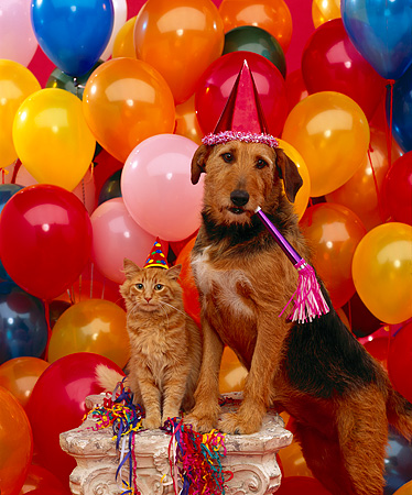 DOK 03 RK0077 09 © Kimball Stock Mixed Breed Magic And Orange Cat On Pedastal Wearing Party Hats Balloons Background