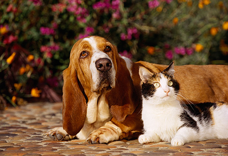 DOK 03 RK0081 02 © Kimball Stock Basset Hound Chester And Calico Cat Laying On Rock Pavement By Flowers