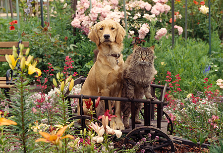 DOK 03 RK0083 03 © Kimball Stock Golden Retriever Mix Sunday Sitting With Cat Inside Wooden Wheelbarrow By Flower Garden