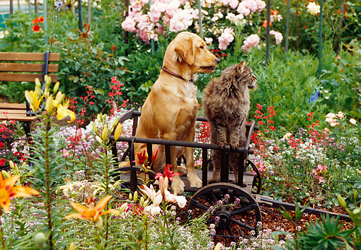 DOK 03 RK0083 13 © Kimball Stock Golden Retriever Mix Sunday Sitting With Cat Inside Wooden Wheelbarrow By Flower Garden