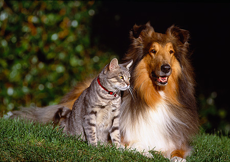 DOK 03 RK0092 44 © Kimball Stock Collie And Gray Cat Sitting Together On Grass