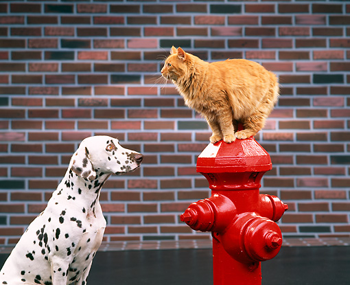 DOK 03 RK0093 06 © Kimball Stock Dalmatian Watching Orange Cat Standing On Top Of Red Fire Hydrant Brick Wall Background