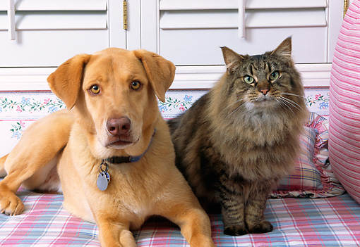 DOK 03 RK0118 05 © Kimball Stock Mixed Breed Dog And Maine Coon Cat Laying By Pillow