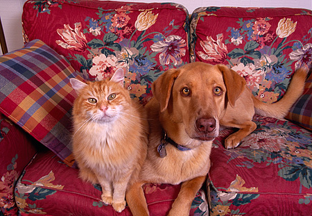 DOK 03 RK0121 21 © Kimball Stock Mixed Breed And Orange Cat Sitting On Floral Couch Facing Camera