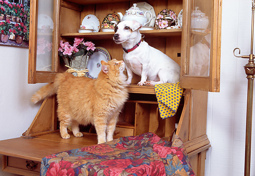 DOK 03 RK0123 08 © Kimball Stock Jack Russell And Orange Cat Sitting On Wooden Hutch By Pink Flowers And Plates