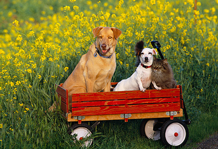 DOK 03 RK0133 13 © Kimball Stock Mixed Breed And Jack Russell With Cat Sitting In Red Wagon In Yellow Flower Field