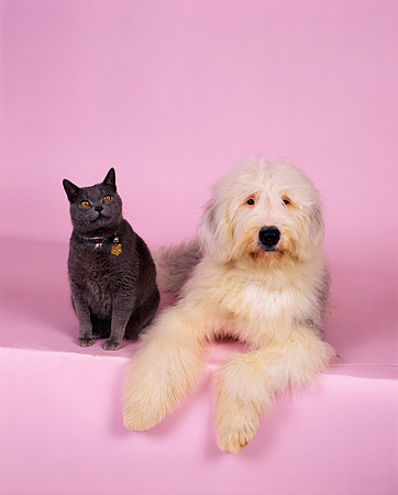 DOK 03 RK0135 02 © Kimball Stock Old English Sheepdog and British Shorthair