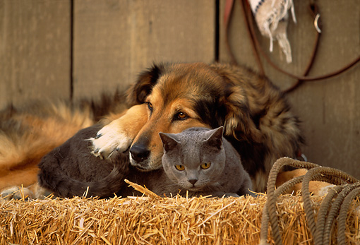 DOK 03 RK0141 01 © Kimball Stock Collie Labrador Mix and Blue British Shorthair Cat Laying On Hay Bale In Barn Studio