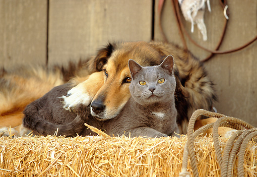 DOK 03 RK0141 10 © Kimball Stock Collie Labrador Mix and Blue British Shorthair Cat Laying On Hay Bale In Barn Studio