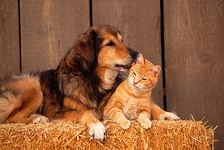 DOK 03 RK0142 11 © Kimball Stock Collie Labrador Mix With Orange Tabby Laying On Hay