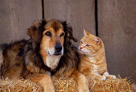 DOK 03 RK0142 40 © Kimball Stock Collie Labrador Mix With Orange Tabby Laying On Hay
