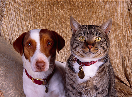 DOK 03 RK0180 01 © Kimball Stock Jack Russell And Tabby Cat Sitting Together On Brown Couch