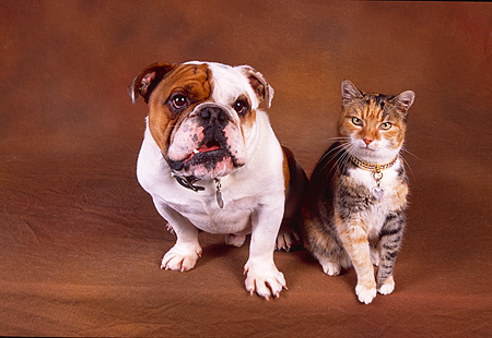 DOK 03 RK0182 07 © Kimball Stock Bulldog And Calico Cat Sitting Together On Brown Background